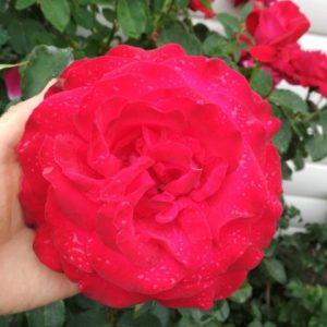 Rose №1