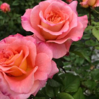 Бордюрные и Спрей розы..