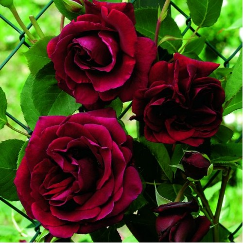 47-rose