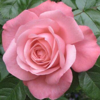 Плетистые розы..