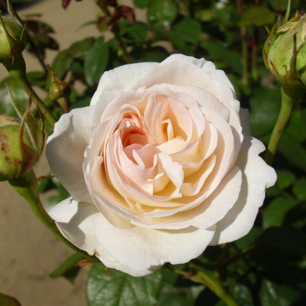 Lions Rose