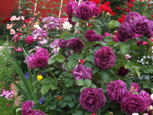 Purple_Lodge