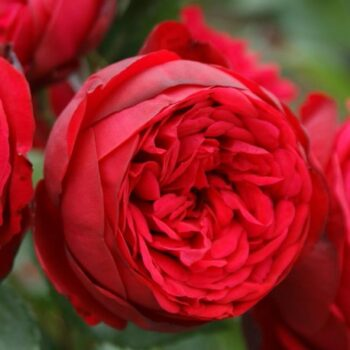 Бордюрные и Спрей розы.