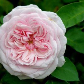 Бурбонские розы.