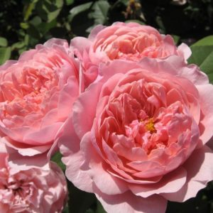 The_Alnwick_Rose