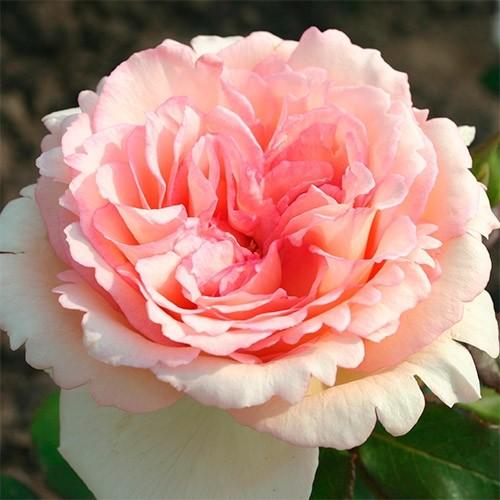 Rose-souvenir-de-baden-