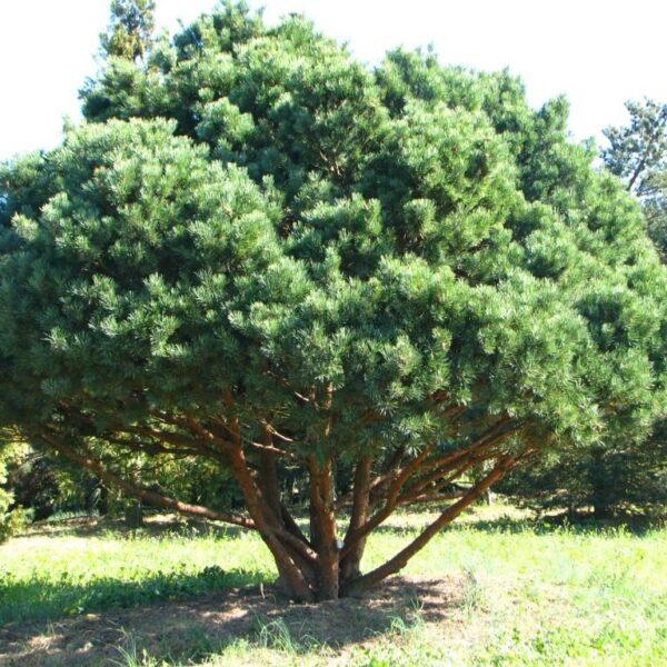 Pinus-sylvestris-watereri