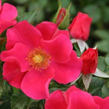 Почвопокровные розы.
