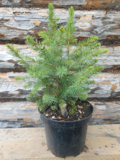 Picea Omorika-serbskaya